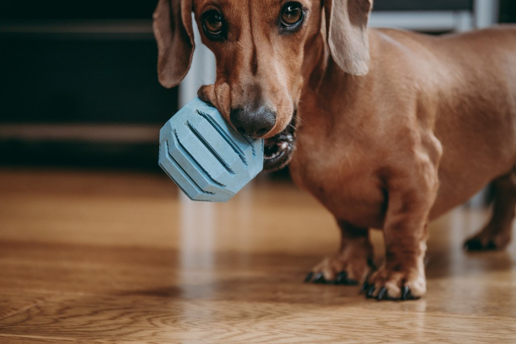 How To Care For a Dachshund. Miniature dachshund playing in an apartment with a blue ball in his mouth