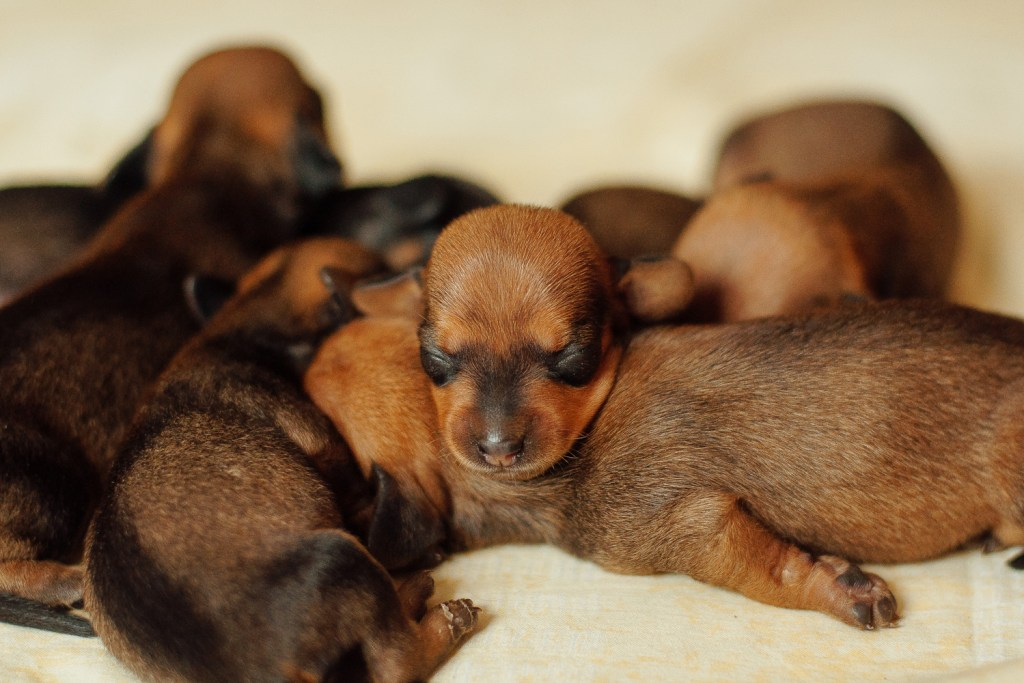 When Are Dachshunds Full Grown? Newborn dachshund puppies all sleeping on top of each other