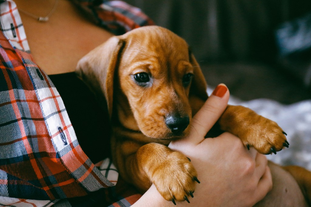 Anxious dachshund puppy being cuddled by owner