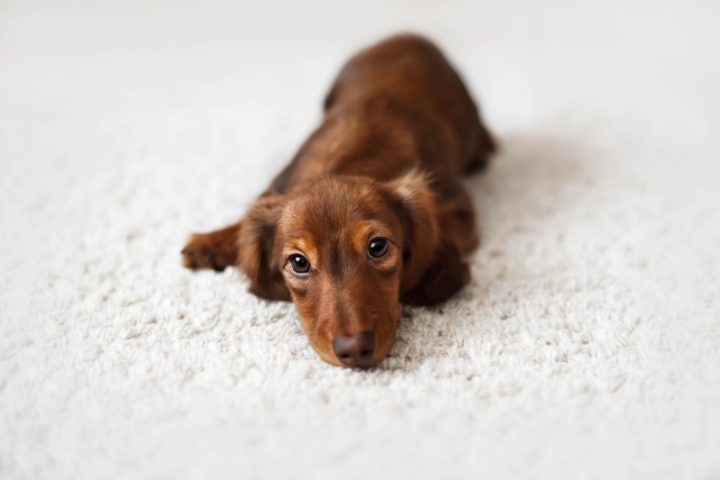 When Do Dachshunds Start Teething? Dachshund puppy laying on the floor on a white carpet