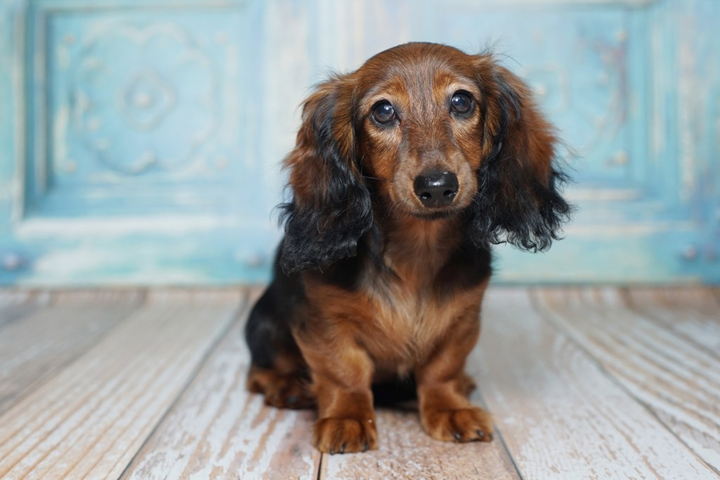 How Do You Potty Train a Dachshund? Dachshund puppy sat down looking like she needs the toilet