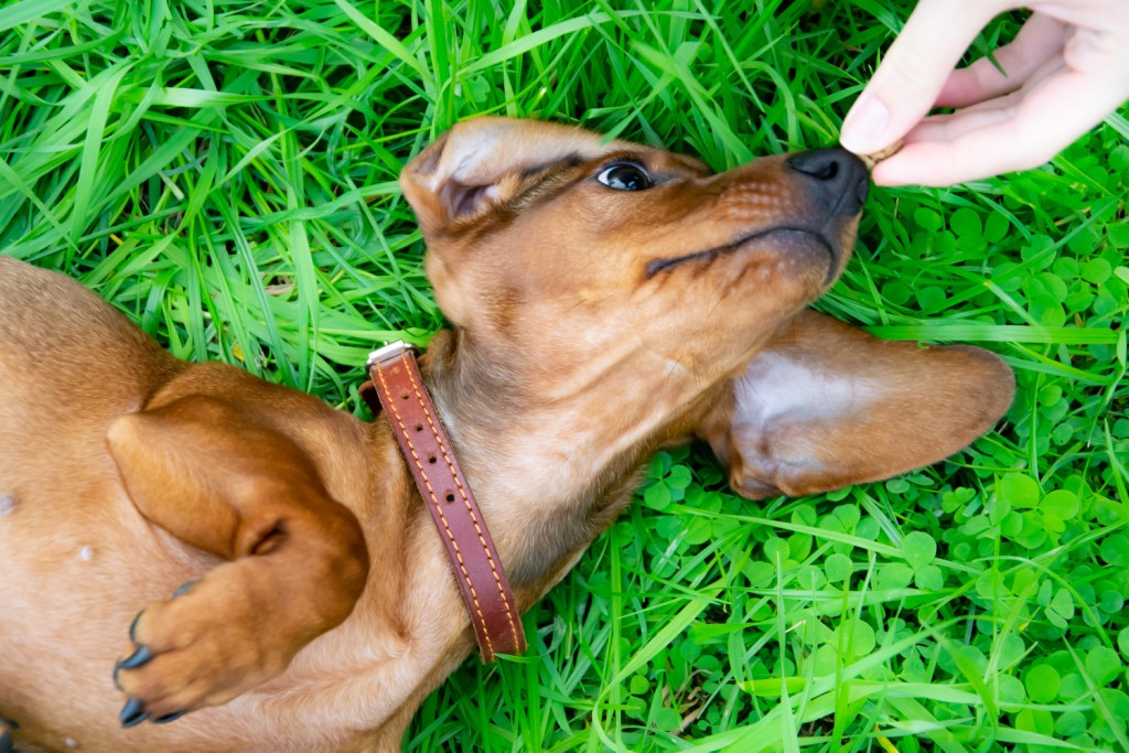 Why Do Dachshunds Roll in Poop? Dachshund rolling on his back in the grass with paws in the air