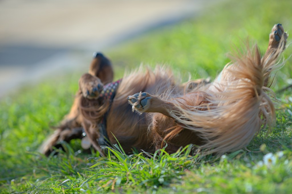 Why Do Dachshunds Roll in Poop? Dachshund rolling in poop on the grass