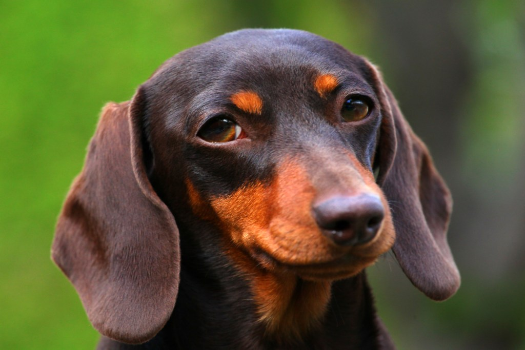 How do you care for your dachshund's skin? Close up of a dachshund's head and skin