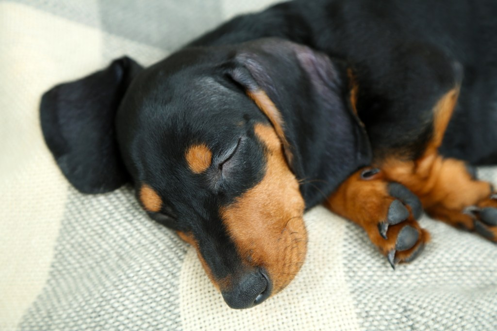 Do Dachshunds Shed? A dachshund sleeping on a cosy blanket