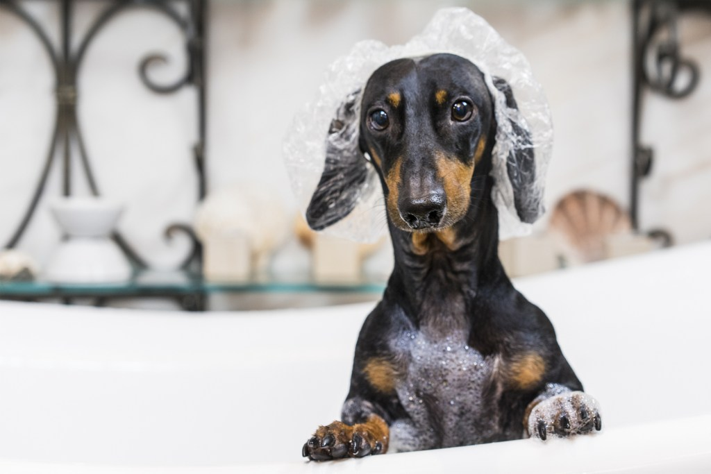 Do smooth-haired dachshunds need grooming? Dachshund in the bath wearing a shower cap and covered in dog shampoo
