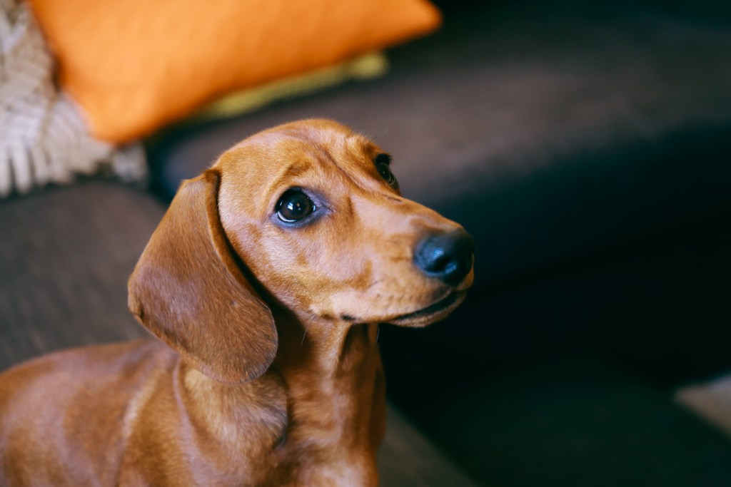 Can Dachshunds Live in Apartments? Dachshund being potty trained in the home