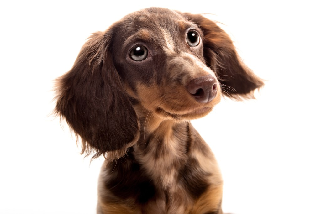 How many times a day should you feed a dachshund? A close p of a dachshund sat on the floor waiting for dinner