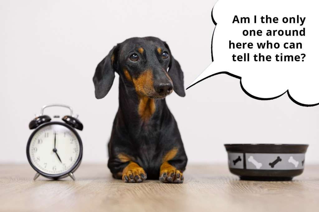 101 things dachshunds want you to know. A dachshund waiting for dinner sat next to a dinner bowl and a clock