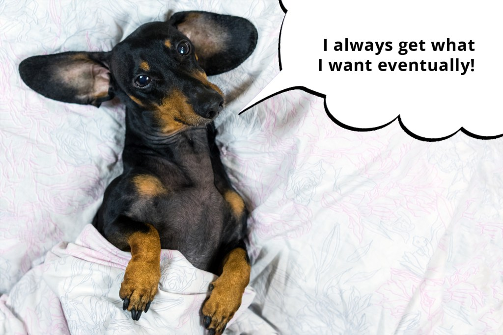 Dachshund laying under the duvet in his owner's bed