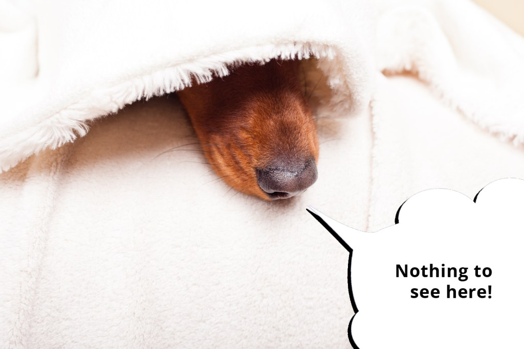 101 things dachshunds want you to know. A dachshund under a blanket with nose poking out