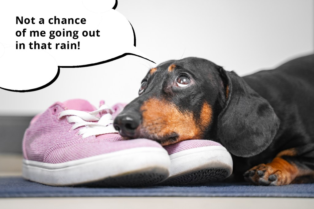 101 things dachshunds want you to know. Dachshund laying his head on his owner's shoes and refusing to go out in the rain