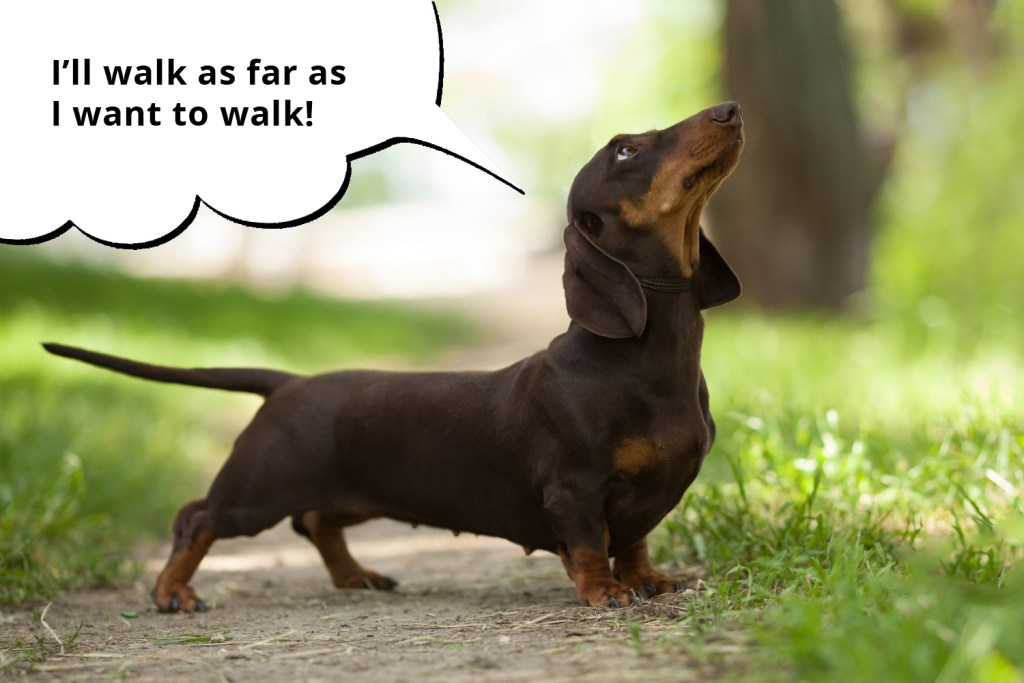 101 things dachshunds want you to know. Dachshund being exercised while out on a walk