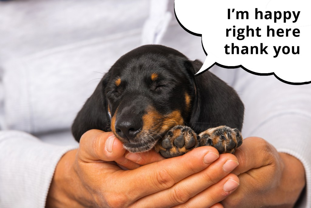 Dachshund puppy fast asleep in his owner's hands