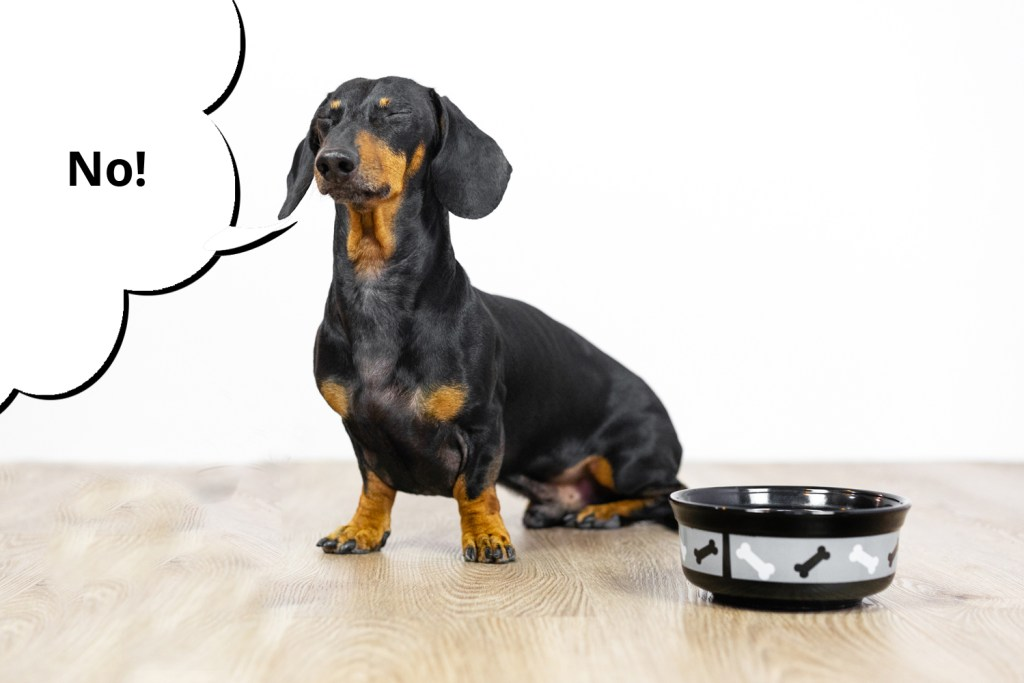 Attention seeking dachshund refusing to eat his dinner