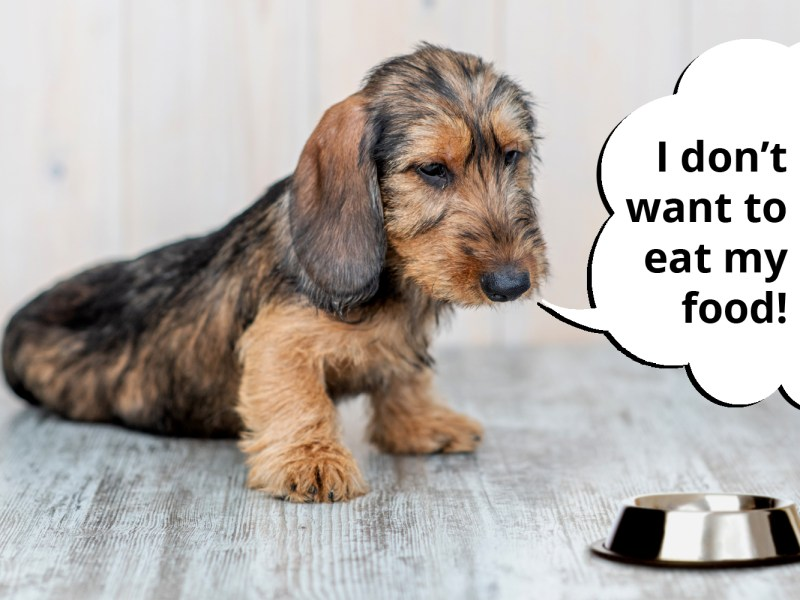 dachshund refusing to eat food