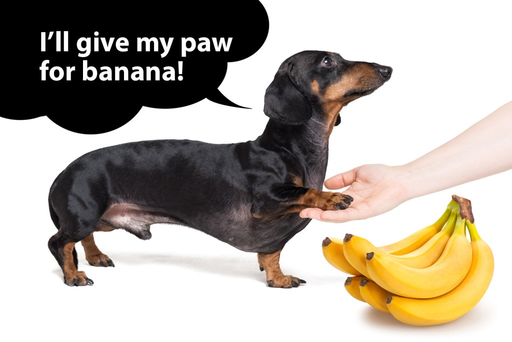 Dachshund learning a new trick to get a banana treat