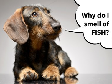dachshund that smells of fish with anal gland problems