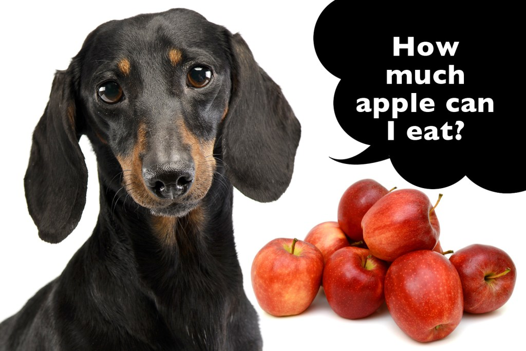 How much apple can a dachshund eat?