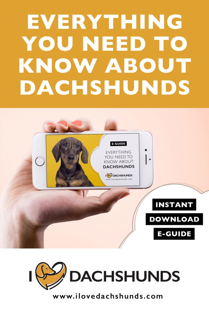 Everything you need to know about dachshunds