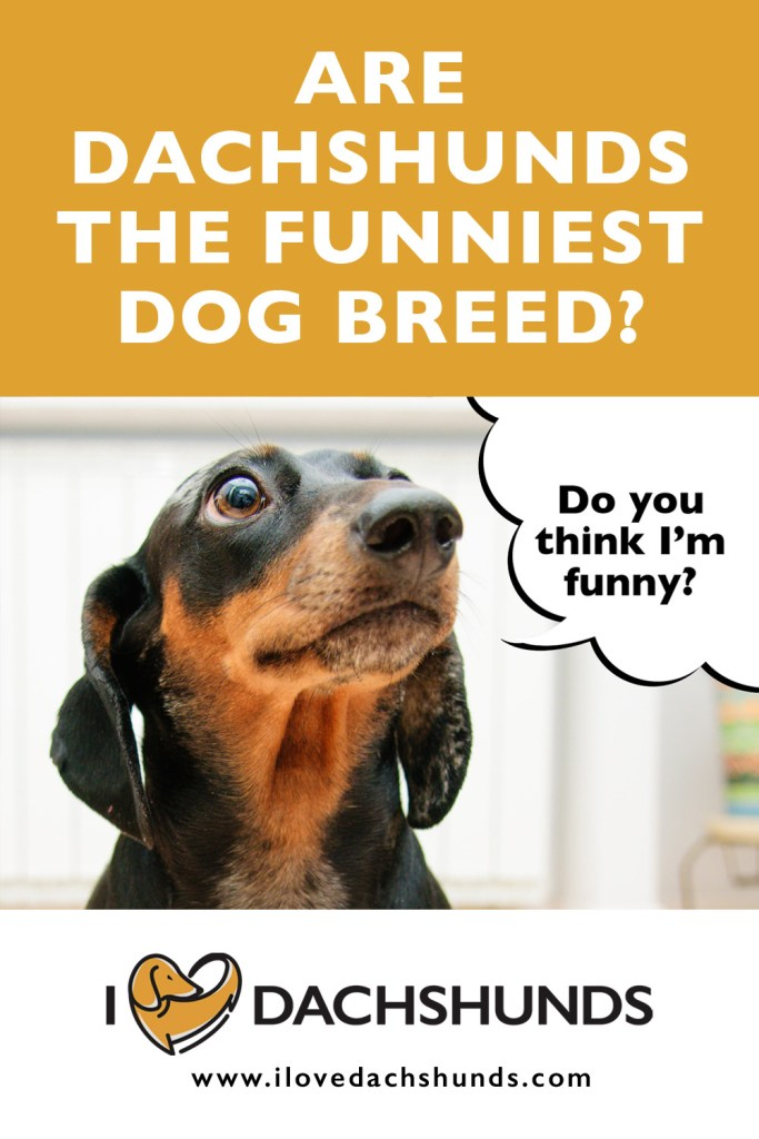 Are Dachshunds The Funniest Dog Breed?