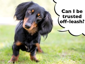 can dachshunds go off leash