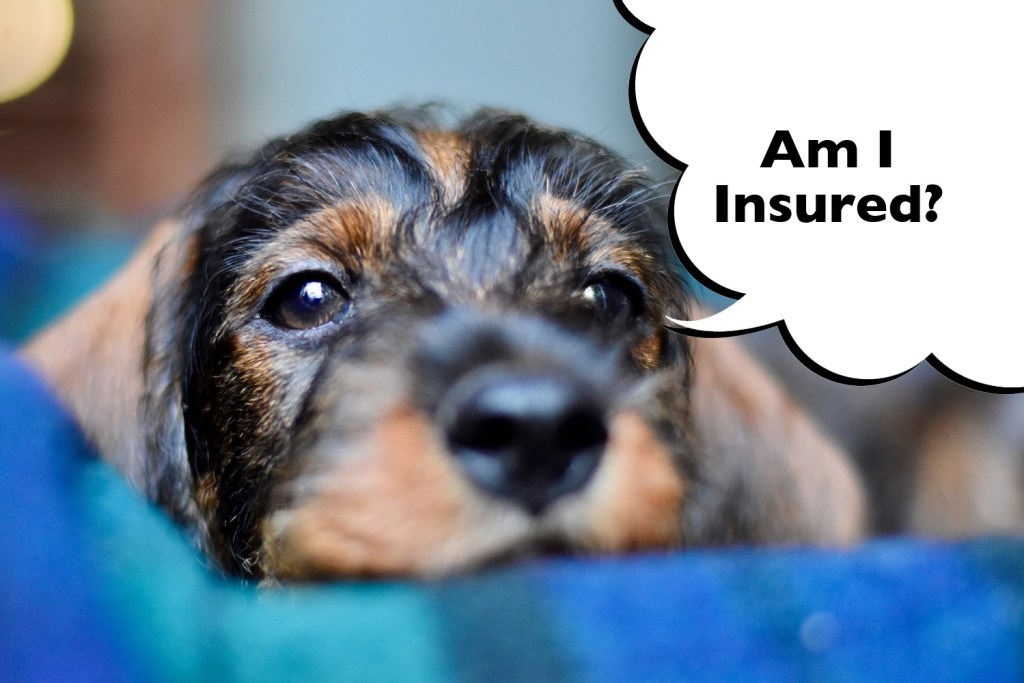 A Dachshund insured with a Lifetime Cover policy