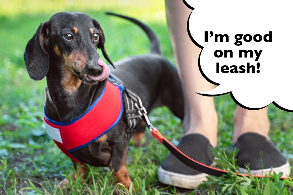 Dachshund doing leash training with his owner