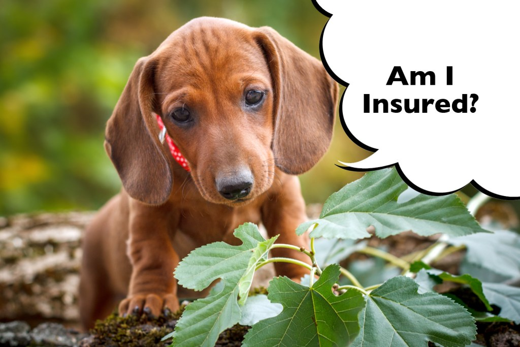 What does pet insurance cover a Dachshund for?