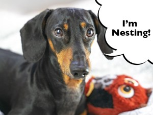 Dachshund phantom pregnancy