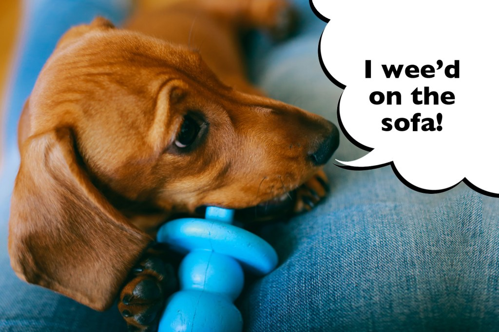 Dachshund Owner feeling overwhelmed by new puppy