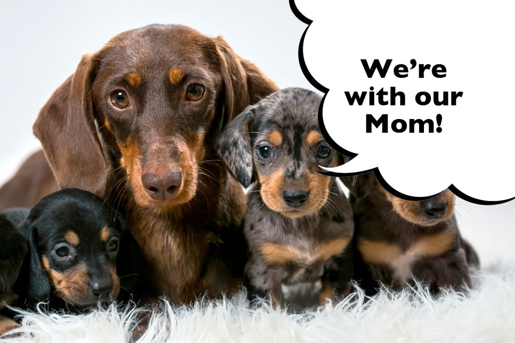 Dachshund puppies with their mom