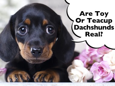 Toy Teacup Miniature Dachshund