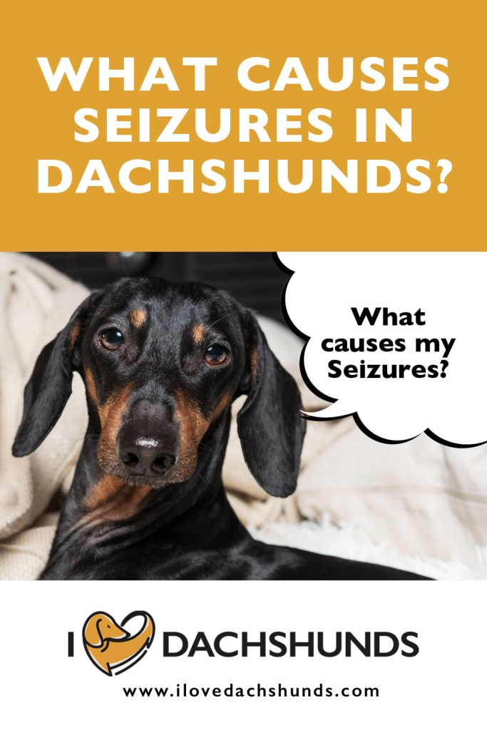 What causes seizures in Dachshunds?