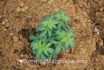 Sandy soil outdoor cannabis growing