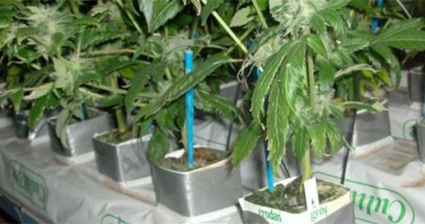 rockwool hydroponics growing