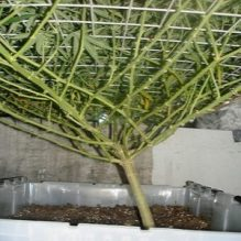 pruned cannabis branches