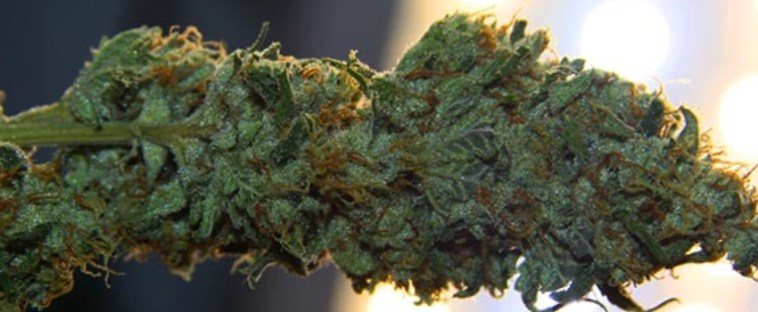 Fast-curing buds