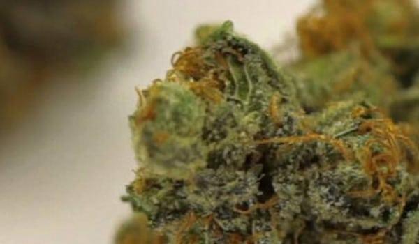 Gelato Strain Medical Buy gelato 33 weed online