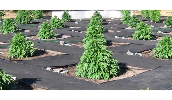 growing marijuana in garden