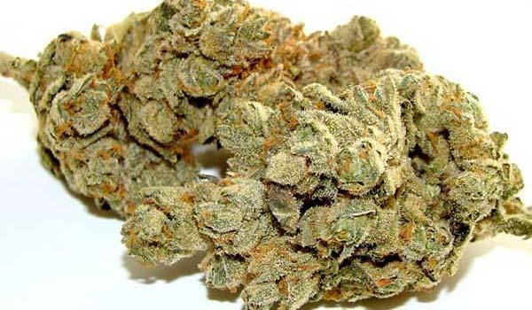 Master Kush Strain Medical-medical marijuana doctors in pa