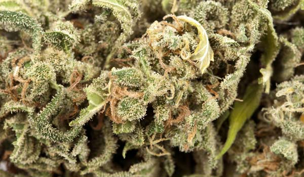 Project Blue Book Strain Medical medical cannabis and cancer