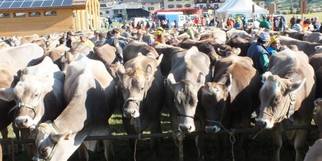 52° Mostra Zootecnica del bestiame di razza bruna