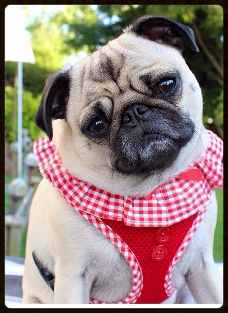Puppia Vivien Harnesses Available In 5 Colours I Love Pugs