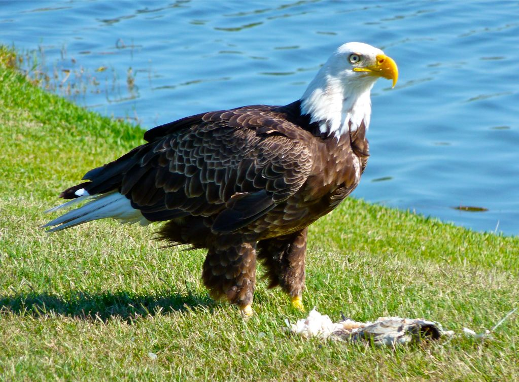 Bald Eagles Enjoy Lunch at The Dunes (video)