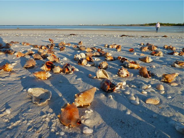 Little Hickory Fighting conchs