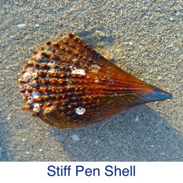 Pen Shell- Stiff ID