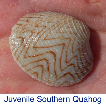 Quahog - Juvenile Southern ID