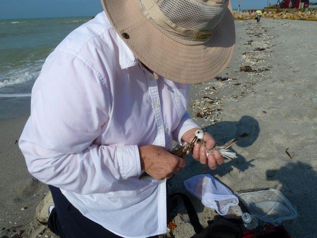 Saving Sandy The Sanderling