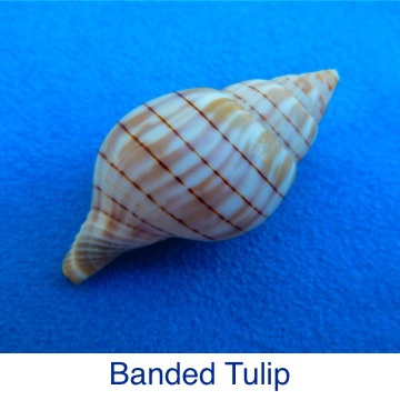 Tulip - Banded ID